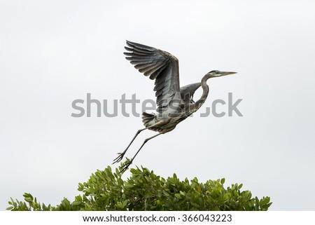 Grey Heron (Ardea cinerea) in flight, Cape Coral, Florida - stock photo