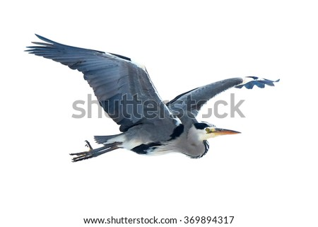 Grey Heron (Ardea cinerea) in flight isolated on a white background - stock photo