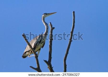 Grey Heron (Ardea cinerea) on branch tree - stock photo