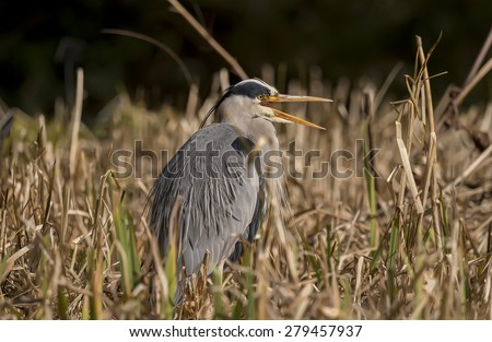 Grey Heron ,Ardea cinerea, sitting in the reeds with an open beak - stock photo