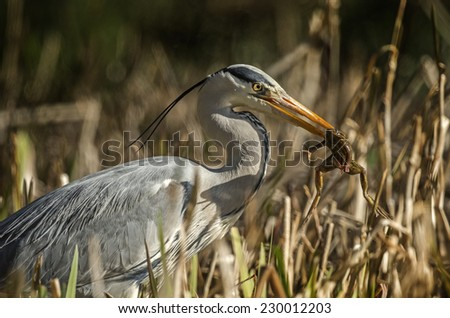 Grey Heron catching frog in the reeds - stock photo