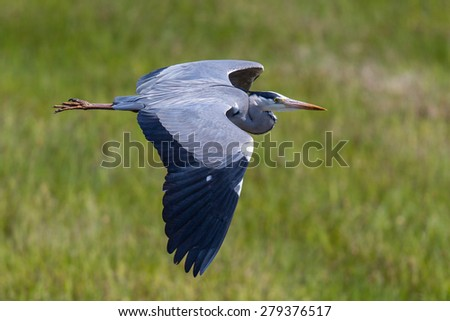 Grey Heron during flight - stock photo