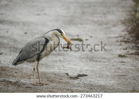 Grey Heron eating frog - stock photo