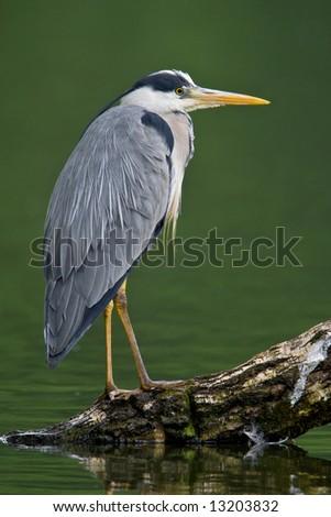 Grey Heron fishing at the waterside - stock photo