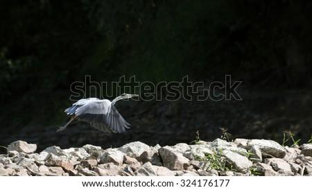 Grey heron Flying (Ardea cinerea) in its natural habitat. - stock photo