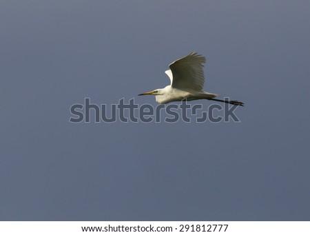 grey heron flying in Danube Delta - stock photo