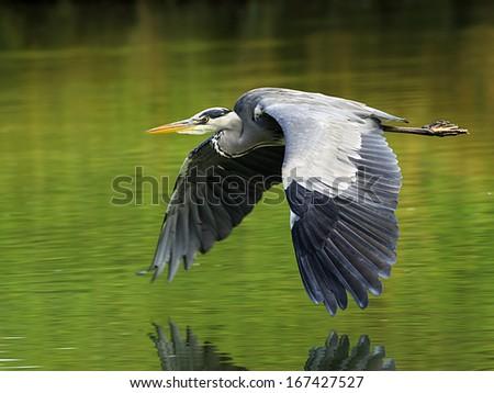 Grey Heron, gray heron, Graureiher, Germany - stock photo
