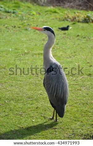 Grey heron / Heron in the city / London heron - stock photo