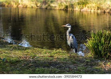 Grey heron in Chiswick park - stock photo