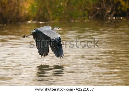 Grey Heron in Flight - stock photo