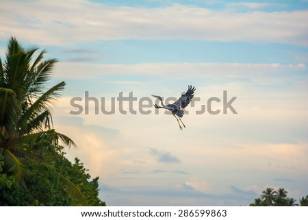 Grey Heron in flight to tree top. Maldives - stock photo