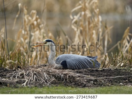 Grey Heron in front of reeds - stock photo