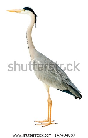 grey heron isolated - stock photo