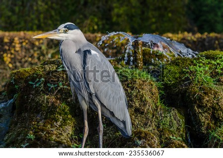 grey heron next to a spring in a park - stock photo