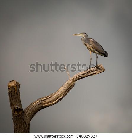 Grey Heron on isolated dying branch. (Ardeidae) - stock photo
