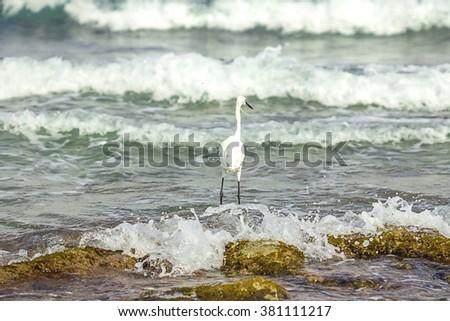 Grey Heron Stands on the Beach near the Sea, Crete - stock photo