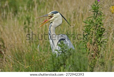 Grey Heron with beak open - stock photo