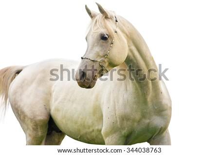 Grey horse on white background. - stock photo