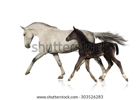 Grey horse run with black foal on white background - stock photo