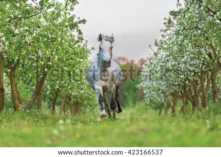 Grey horse running gallop in blooming garden. - stock photo