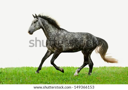 Grey horse running on the grass isolated on white - stock photo