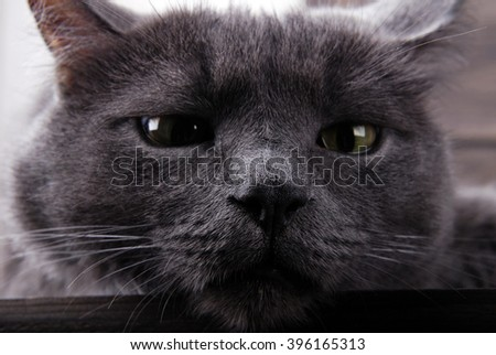Grey house cat with yellow eyes on a wooden background. - stock photo