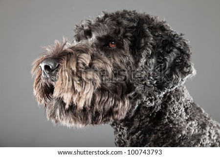 Grey labradoodle dog isolated on grey background. Anti allergy. Studio portrait. - stock photo
