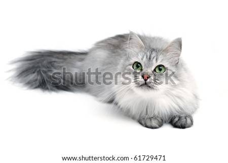 Grey long-hair cat with green eyes, focus on face - stock photo