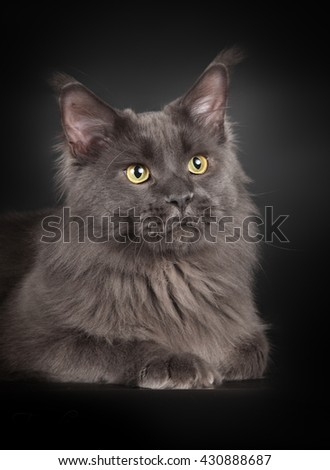 Grey maine coon portrait isolated on black - stock photo
