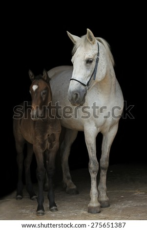 Grey mare and a foal on black background. - stock photo