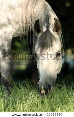 Grey mare with head in tall grass - stock photo