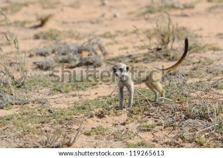 Grey Meerkat (Suricata suricatta) juvenile in the Kalahari desert,Northern Cape, South Africa - stock photo