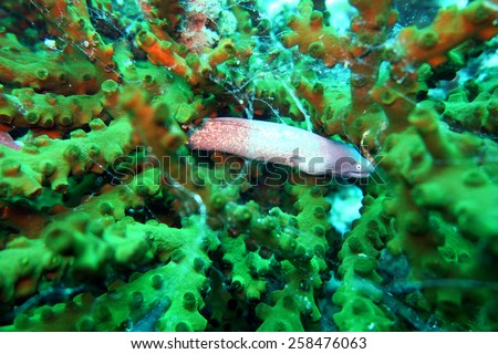 grey moral eel - scuba diving at the coral reef in Thailand - stock photo