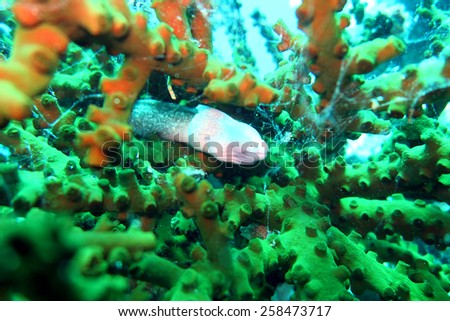 grey moray eel,Gymnothorax nubilus - scuba diving at the coral reef in Thailand - stock photo