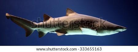 Grey nurse shark - stock photo