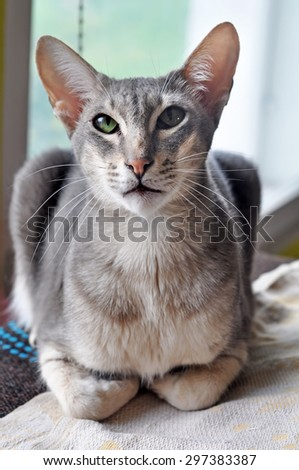 Grey Oriental cat. The Oriental Shorthair is a breed of cat. This cat combines the Siamese body with a diversity of colorings and patterns.  - stock photo