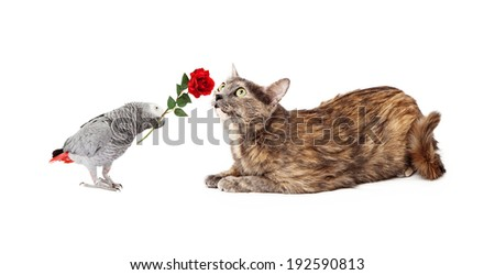 Grey Parrot holding a red rose in its beak and giving it to a pretty cat - stock photo