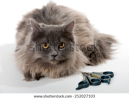 Grey Persian cat, scissors and nail clipper for animal - stock photo