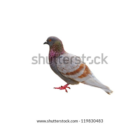 grey pigeon isolated on white background - stock photo