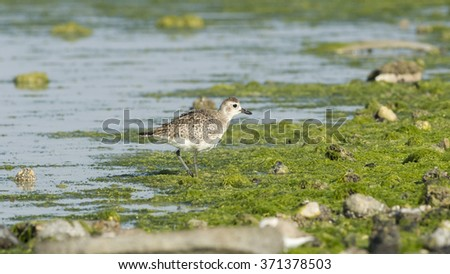 Grey plover on the green sea moss - stock photo