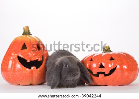 grey rabbit between two halloween pumpkins - stock photo