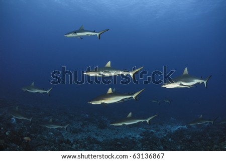Grey reef shark Carcharhinus Amblyrhynchos in deep blue of Pacific Ocean - stock photo