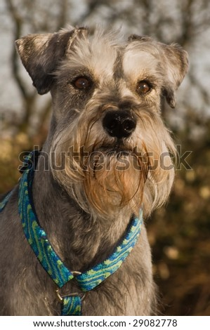 Grey salt and pepper miniature schnauzer dog posing outdoors in the sun - stock photo