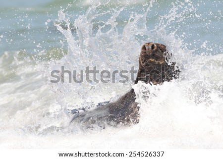 Grey Seal - stock photo