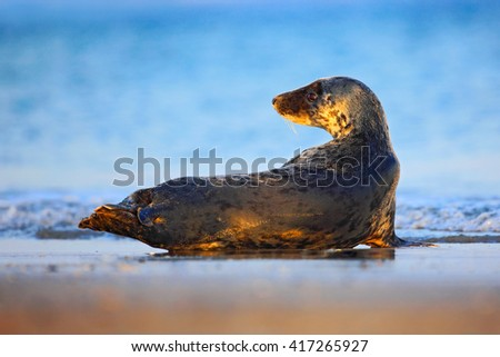 Grey Seal, Halichoerus grypus, detail portrait in the blue water, wave in the background, animal in the nature sea habitat, Grey seal with dark blue ocean. Grey Seal on the beach of Helgoland, Germany - stock photo