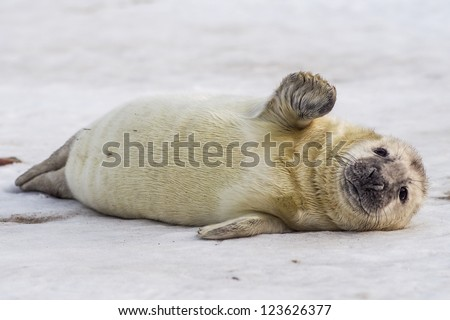 grey seal (halichoerus grypus) on the beach - stock photo
