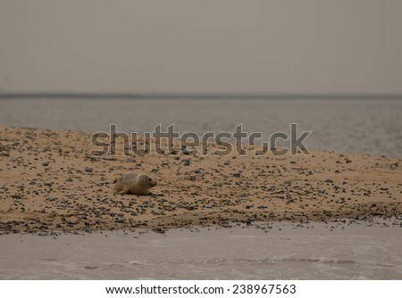 Grey Seal Pup alone on a beach - stock photo