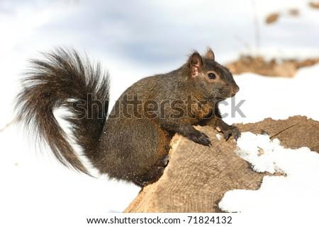 Grey Squirrel - stock photo