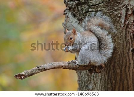 Grey Squirrel, Central Park, New York, USA - stock photo