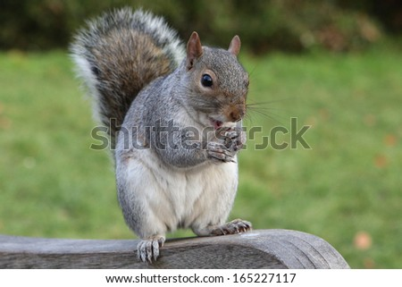 Grey squirrel eating dainty on the bench at the park - stock photo